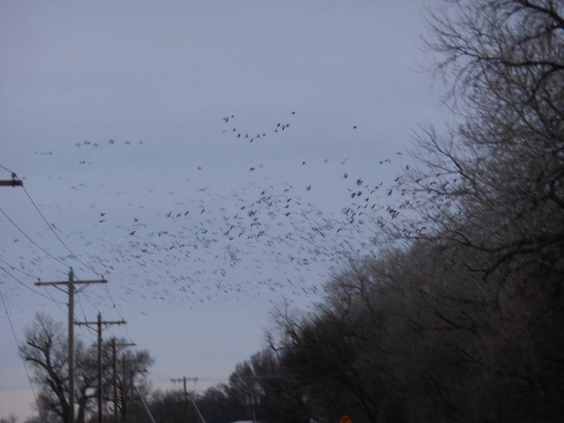 Sandhill Crane Migration 036